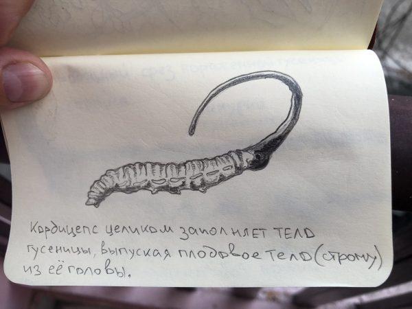 Кордицепс заполняет тело гусеницы